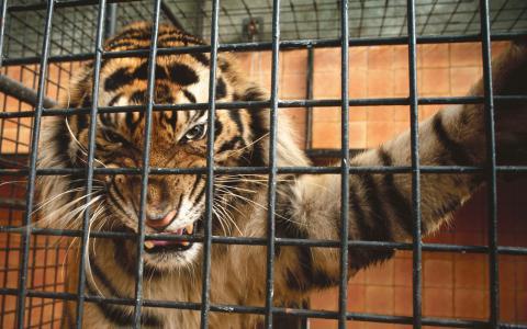 Taman Safari erbjuder några av världens sista Sumatra-tigrar överlevnad, och en chans att föra sina gener vidare.  Bild: Johan Gratzer