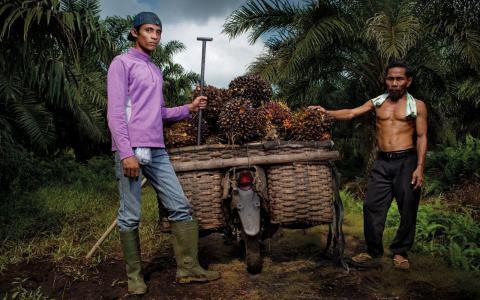 I byn Dosan på Sumatra har man bestämt sig för att inte avverka ny regnskog, utan i stället utöka produktionen av palmolja i de existrande odlingarna.  Bild: Jonas Grazer