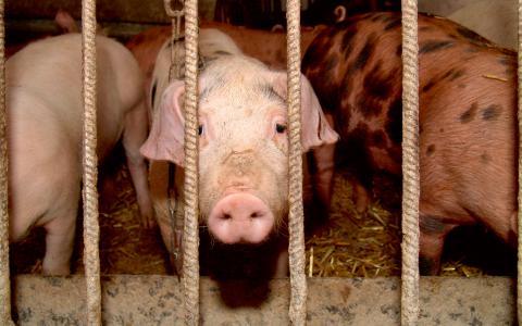 """Bortförklaringar. """"I stället för att lösa problemet genom att sluta äta djur, gör vi vad vi tycker är skuldfria val och stödjer ekouppfödning, utan att egentligen inse vad djuret går igenom från födsel till död"""", skriver Alexandra Andersson.  Bild: Free Images"""