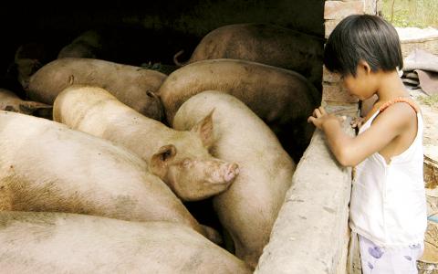 Genen är spridd både bland grisar och människor i södra Kina. Bild: AP