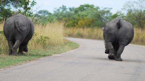 Noshörningar som lever i reservat i Sydafrika. De har inga naturliga fiender. Därför har naturen sett till att de förökar sig långsamt, honorna är dräktiga i 18 månader och får en unge. Nu hotas rasen av utrotning på grund av tjuvjakt. Bild: Markus Lutteman