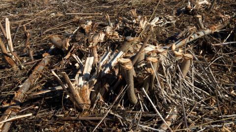 """Ett fält med avverkad energiskog. """"Eftersom ny skog odlas binder marken och växterna mer koldioxid än vad som släpps ut. Det binder också mer än om man inte hade odlat något där"""", säger Charlotta Pörsö, doktor i energi och teknik. Bild: Fredrik Sandberg/TT"""