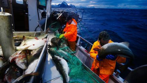 Det finns ingen vilja att sluta att fiska i andra länders hav. Ty där är de ekonomiska intressena för starka. Att Bryssel sätter de intressena först förvånar föga, men att Miljöpartiet nu rycker ut till fiskeavtalens försvar är värre Bild: Cornelius Poppe/TT