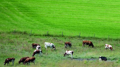 """""""Vartenda kilo kött som produceras och konsumeras lokalt ger tre gånger pengarna för det lokala samhällets totala ekonomi. Varenda kvadratmeter betesmarker hålls öppna av betande mular. Marker som inte är lämpade för något annat än betande mular"""".  Bild: Jon Olav Nesvold"""