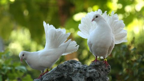 Vita duvor får ofta symbolisera fred. I Sverige möts fredsaktivister dock ofta av osakliga påhopp, skriver debattörerna. Bild: Pixabay