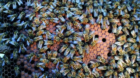 Biodlarna är konfunderade. I bikupan de har öppnat har arbetsbina börjat föda upp flera nya drottningar, trots att de redan har en nykläckt ungdrottning. Drottningcellerna syns som avlånga utbuktningar. Bild: Linda Alfons