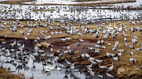 Vid Hornborgasjön i Västergötland samlar varje vår tusentals tranor. Bild: TT