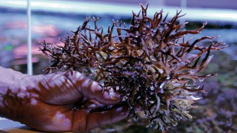 Vissa koraller är svårare att föröka för marinbiologerna på Sjöfartsmuseet. Foto: Annelie Moran
