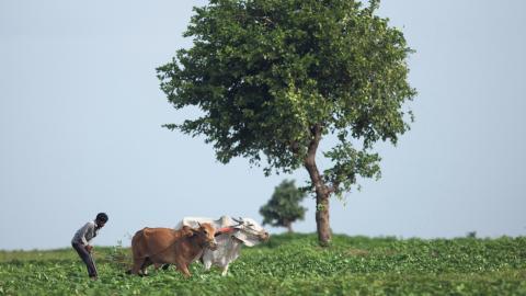 Den höga andelen självmord bland de indiska jordbrukarna kopplas till de stigande temperaturerna i landet.  Bild: Mahesh Kumar A/AP