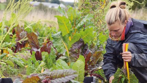"""Charlotte Flink rensar ut mangoldblad som blivit skadade av hagel. """"När man väl börjat odla kan man inte sluta!"""", säger hon. Foto: Sonya Cunningham Oldenvik"""