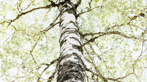"""""""Där björkarna susa"""".Björken har alltid haft en viktig plats i den finska kulturen, och trädet får här symbolisera hemlängtan, minnen och nostalgi.  Bild: Agnes Thor"""