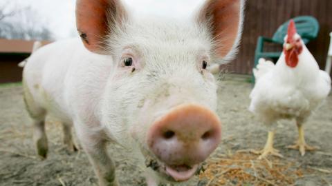 """""""På näthinnan ska det flimra svenska gårdar med grisar som rullar sig i solen, kalvar som diar och små fjuniga kycklingar som ser sig omkring"""", skriver Hanna Strömbom. Foto: Amy Sancetta/AP/TT"""