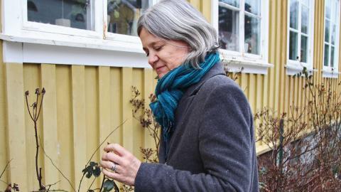 Att rosorna blommade i november blev droppen för Ragnhild Larsson. Foto: Sanna Arbman Hansing