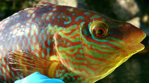 En skärsnultra, en art som ingår bland läppfiskar. Foto: Tonje K Sørdalen/ Göteborgs universitet/press
