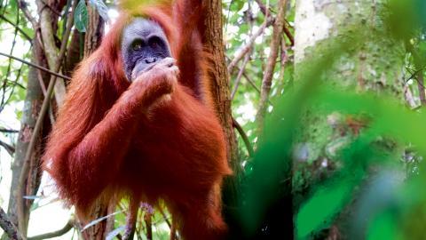 En av 14 000 orangutanger som fortfarande finns kvar i djungeln i Sumatra.  En kraftig minskning av orangutanger de senaste årtionden är ett direkt resultat av en olovlig skövling av regnskog till förmån för oljepalmsplantager runtom Indonesien och Malays Bild: Andreas Staahl