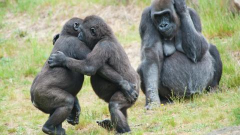 Två unga gorillor dansar medan mamman ser på,  Bild: Shutterstock