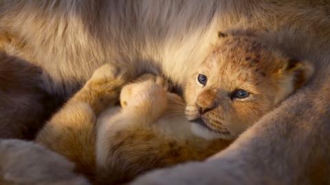 Detaljrikedomen är otrolig och allt från lejonpäls till klippskrevor och insekter ser ut att vara hämtade ur en David Attenborough-dokumentär – i alla fall tills flodhästarna börjar sjunga stämmor.  Bild: Press/disney