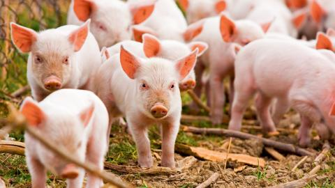 De pengar som Svenskt kött har fått för att få ungdomar att äta mer gris, borde satsas på klimatomställningen i stället, skriver nystartade kampanjen Gilla grisar.  Bild: Shutterstock