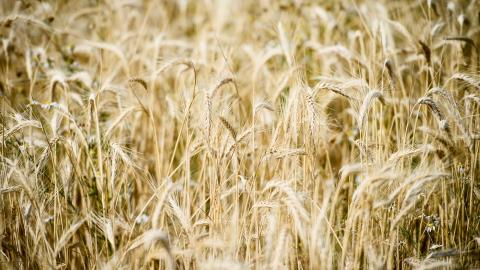 Under den varma sommaren förra året skedde näst intill en halvering av skörden av spannmål, oljeväxter och trindsäd – en indikation om vad framtida ändrat klimat kan innebära, skriver debattören.  Bild: Erik Simander/TT