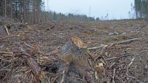 """""""Att upphöra registrering av nyckelbiotoper vid avverkning, vilket Skogsstyrelsen föreslår, skulle innebära att fler av våra sista naturskogar huggs ner."""" bild Fredrik Sandberg/TT"""