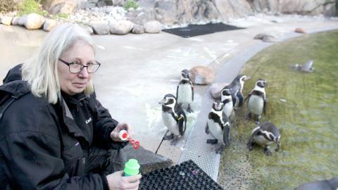 Bland Katrin Hanssons arbetsuppgifter ingår att ge djuren utlopp för sina naturliga beteenden. Såpbubblor triggar humboldtpingvinernas jaktinstinkter, berättar hon. Bild: Sao-Mai Dau