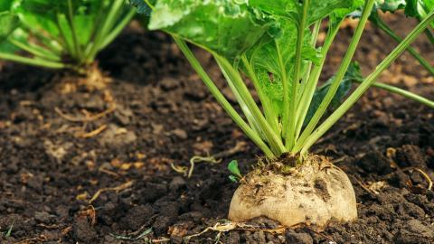 Medlet kan bland annat användas vid sockerbetsodlingar. Foto: Shutterstock