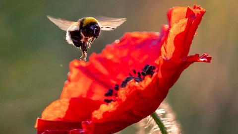 Humla. Kemiska bekämpningsmedel, klimatförändringar och landskapsförändringar är faktorer som bidrar till att binas och andra pollinatörers livsmiljöer försvinner i snabb takt.  Foto: Michael Probst/AP/YY