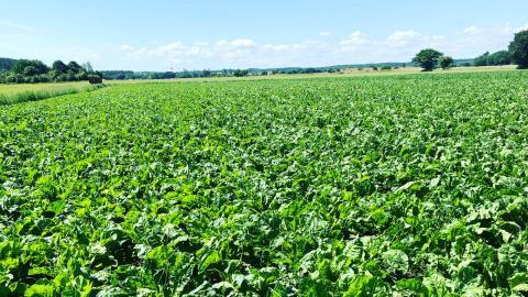 Marcus Callenbrings odling av ekologiska sockerbetor är på 12 hektar och ger drygt 40 ton. Bild: Izabella Rosengren