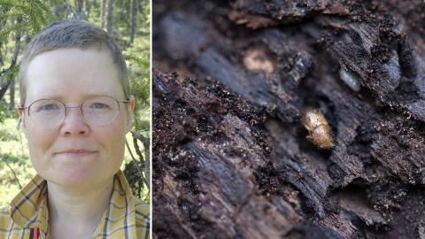 Granbarkborren gynnar ekologisk mångfald och bör inte användas som ett alibi för att avverka viktiga naturskogar, enligt Elin Götmark. Bild: Privat, Jessica Gow/TT