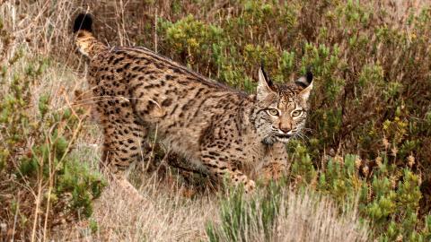 Det totala antalet iberiska lodjur i Spanien och Portugal är omkring 1000, så katterna har gått från status kritiskt hotade till hotade.  Bild: Carlos Carrapato