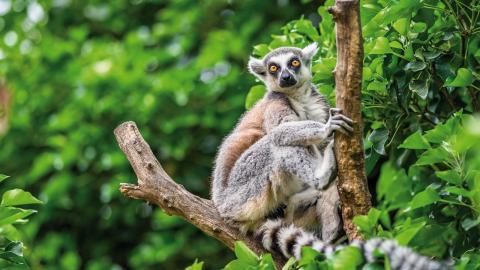 Av Madagaskars 107 lemurarter är 103 listade som starkt hotade. Återställda livsmiljöer skulle öka deras chanser att överleva.  Bild: Shutterstock