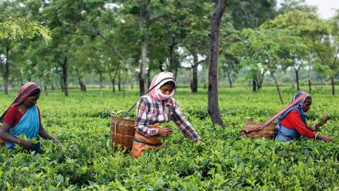 3,5 miljoner indier är idag anställda på teplantage.  Bild: Anupam Nath/AP/TT